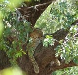 luipaard sfeerfoto