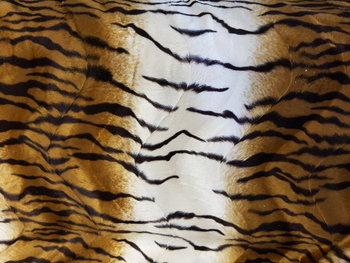 cognac wit zwart tijger - kortharig (op=op)